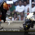 The Care Guide for Cock Fighting